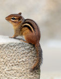 Chipmunk Stockfotos