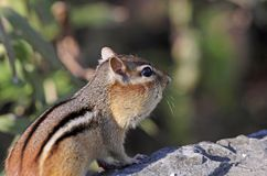 Chipmunk. On a rock in nature Stock Photography