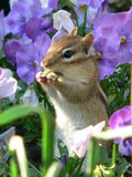 Chipmunk in Flowers Stock Photo