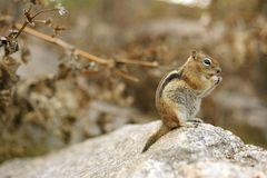 Chipmunk Royalty Free Stock Photography