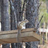 Chipmunk. Sitting on a tree Royalty Free Stock Photo