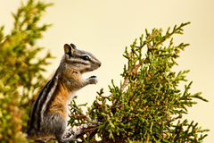 Chipmunk Foto de Stock Royalty Free