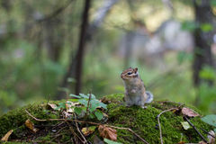 Chipmunk Immagine Stock