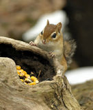 Chipmunk 3. Chipmunk looking at food in log hollow royalty free stock images