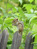 Chipmunk Royalty Free Stock Photo