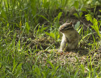 Chipmunk. S are Cousins of the squirrel, just head is smaller than the squirrels, s live wave active, nimble, very fast they climb a tree, generally like social Stock Photos