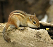 Chipmunk 4 royalty free stock photos