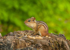 chipmunk Fotos de Stock