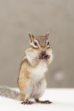 chipmunk Photo libre de droits