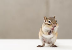 chipmunk Obrazy Royalty Free