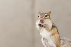 chipmunk Fotografia de Stock Royalty Free