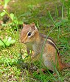 chipmunk Foto de Stock