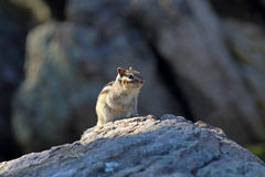 chipmunk Image stock