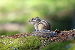 chipmunk Stock Fotografie