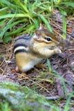 chipmunk Photos stock