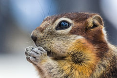 chipmunk Stock Foto