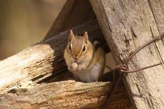 chipmunk Imagen de archivo libre de regalías