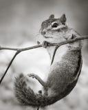 chipmunk Στοκ εικόνα με δικαίωμα ελεύθερης χρήσης
