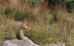 chipmunk Royalty-vrije Stock Foto