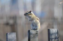 chipmunk Foto de Stock Royalty Free