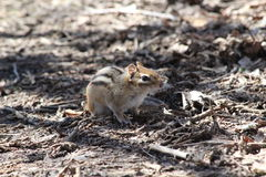 chipmunk Image libre de droits