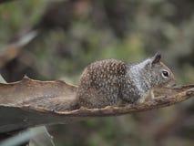 chipmunk Стоковое Изображение RF