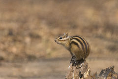 chipmunk Fotografie Stock
