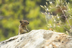 chipmunk Stockfoto