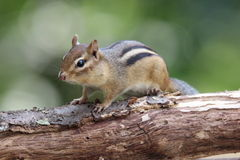 chipmunk Fotografia Royalty Free