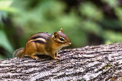 chipmunk Lizenzfreie Stockfotos