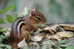 Chipmunk Photographie stock libre de droits
