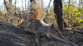 chipmunk Foto de archivo libre de regalías