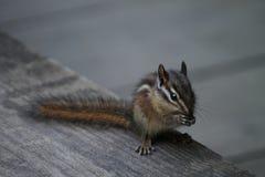 chipmunk Στοκ φωτογραφία με δικαίωμα ελεύθερης χρήσης