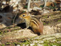 chipmunk Images stock