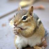 chipmunk Стоковые Изображения