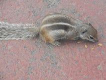 chipmunk Стоковое фото RF