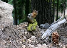 chipmunk Photographie stock