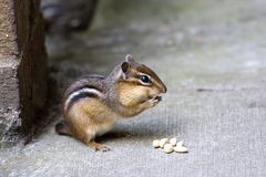 Chipmunk! Foto de Stock