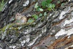 chipmunk Стоковая Фотография RF