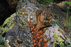 Chipmunk, Alberta Canada. Stock Photo