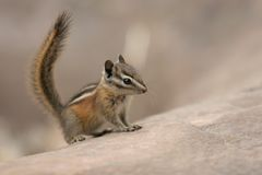 Chipmunk on all fours Royalty Free Stock Photography