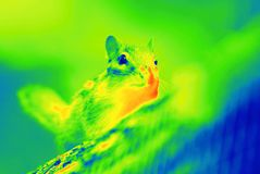 Chipmunk animal by thermal camera Stock Images