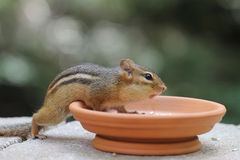 Chipmunk - Asking for More Food Stock Image