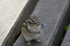 Chipmunk. Asking to feed him Stock Images