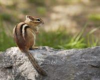 Chipmunk auf einem Roch Lizenzfreie Stockfotos
