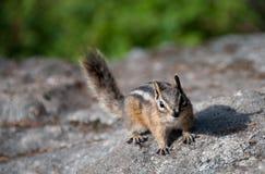 Chipmunk auf Felsen Lizenzfreie Stockfotografie