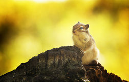 Chipmunk in an autumn forest Royalty Free Stock Photos