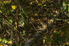 Chipmunk in the autumn forest stock photography