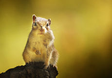 Chipmunk in the autumn woods Stock Photography