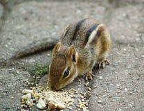 Chipmunk aux graines Image libre de droits